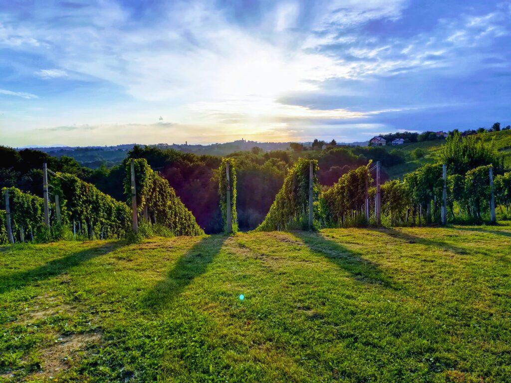 vinograd-lovrec